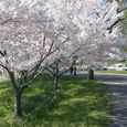 Cherry Blossoms Along The Potomac
