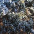 Frost Covered Spider Webs