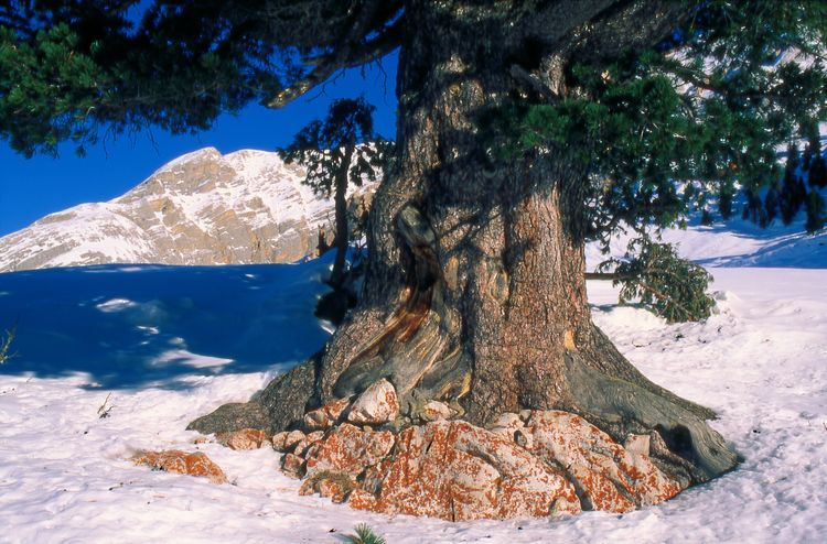 20100115 – Friday - Swiss Stone Pine