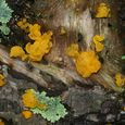 Witches' Butter