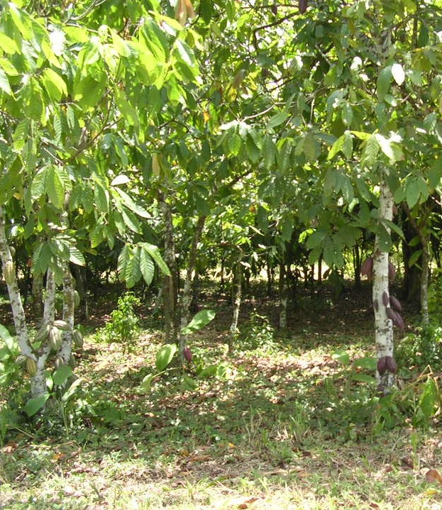 20100417 – Saturday - Cocoa Plantation