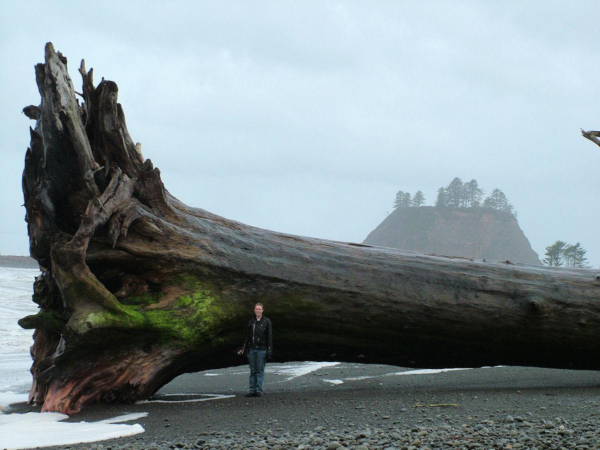 downed redwood on beach