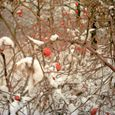 Rose Hips in Snow