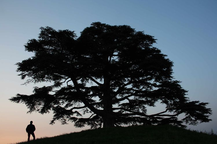 The-Cedar-of-Lebanon