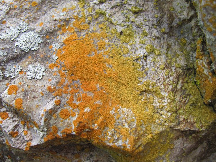 Lichen at Pinnacles National Monument CA May 14 2011 (3)