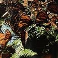 Monarchs in Hibernation