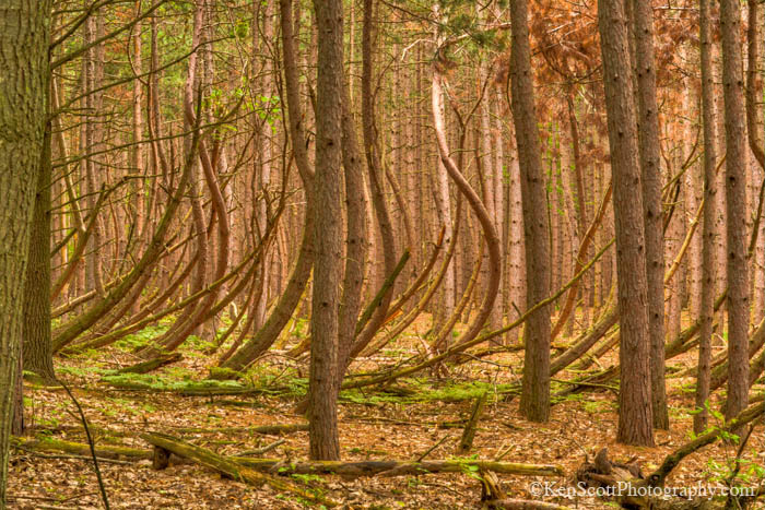Bent Trees at Sleeping Bear Dune National Lakeshore
