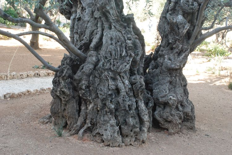 Olive tree Trunk around 900 years old (2)