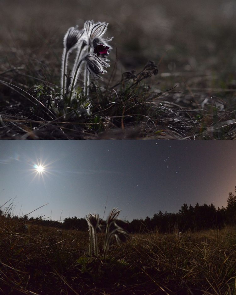 Pulsatilla_in_moonlight