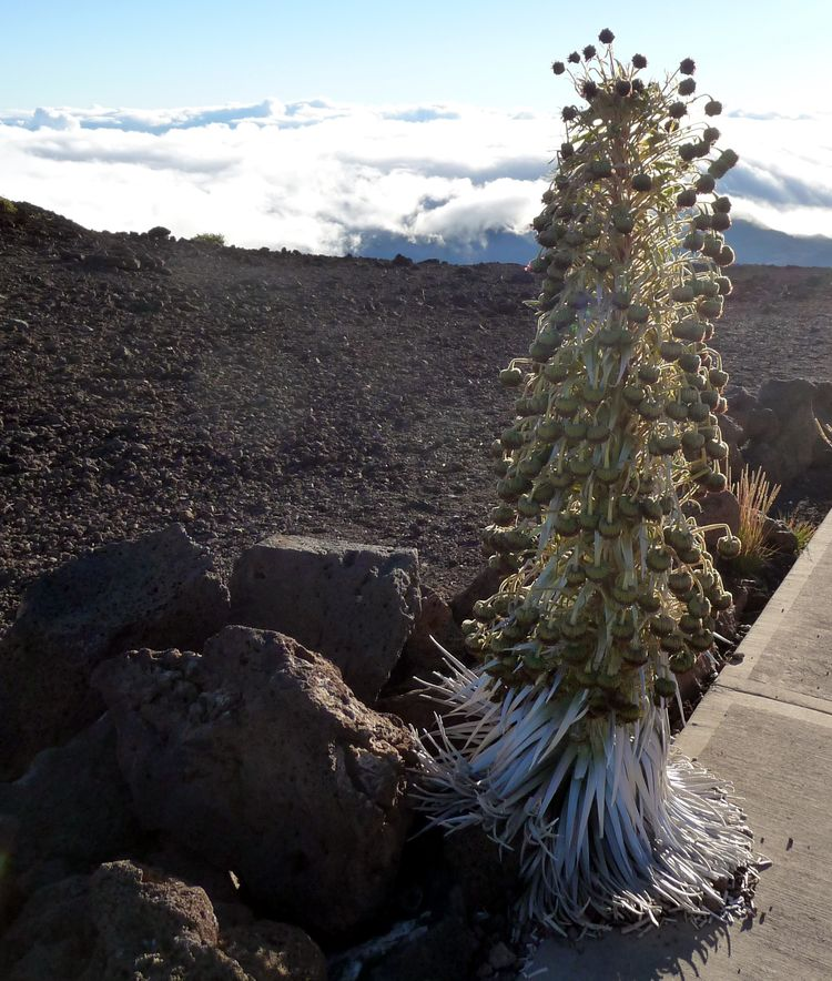 Haleakala Silversword TOP