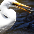 Egret and Fish with Caustic Network