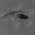 Surface Tension - Water Strider and Mayfly