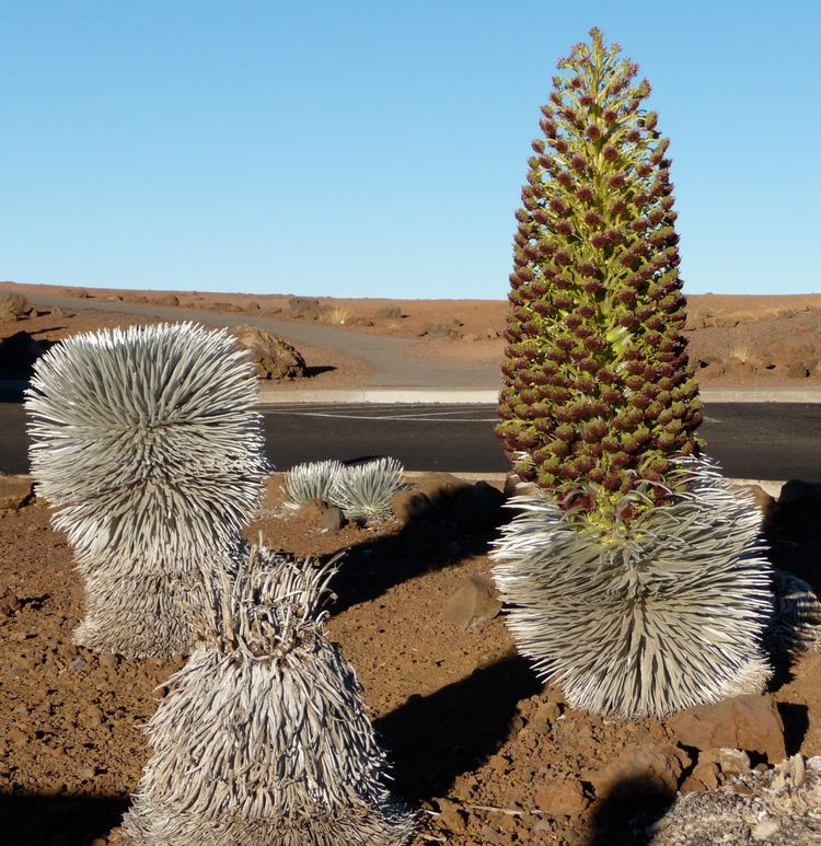 Haleakala Silversword Bottom 2