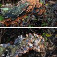 False Turkey Tail Mushroom