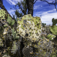 Prickly Pear Cactus in Big Bend National Park