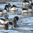 Salty Fly-in Salad Bar for Brant Geese
