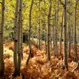 Aspen Grove in Autumn Light