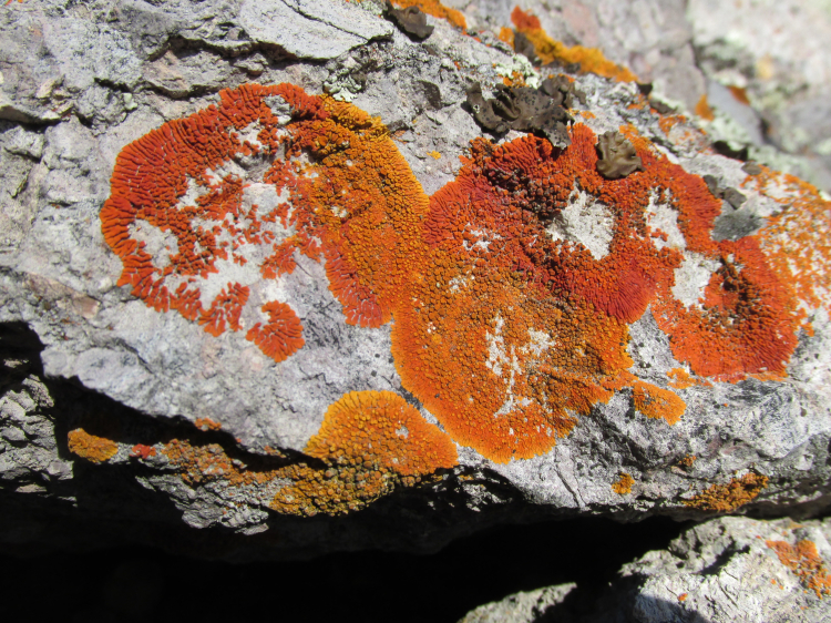 High Peaks Loop Trail, Coral Firedot Lichen 2 (3)
