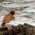 Comeback of the American Oystercatcher