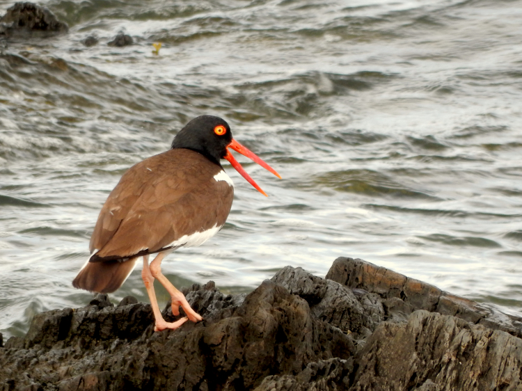 Oystercatcher_AMOY Rainsford 1 (2)