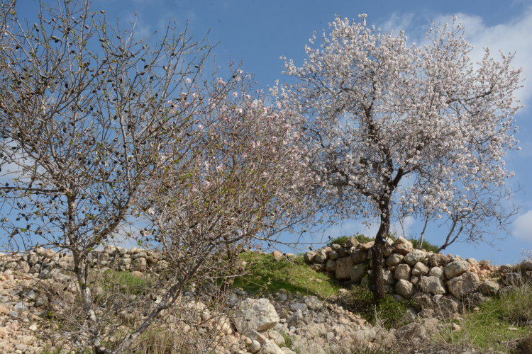Different types of fruit trees   Almond trees in rocky terrain (2)