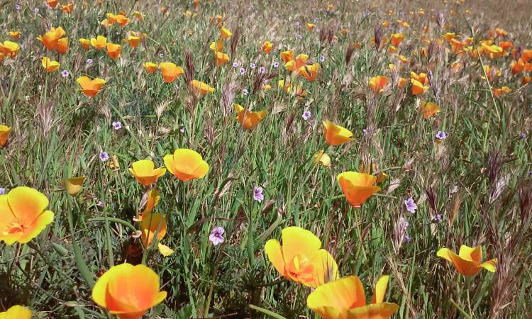 San Luis Obispo  Johnson Ranch  California Poppies (1)