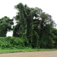 Kudzu, the Good Plant Gone Bad