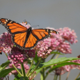 Preserving Milkweed to Preserve the Monarch