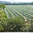 Strawberry Farms in Israel