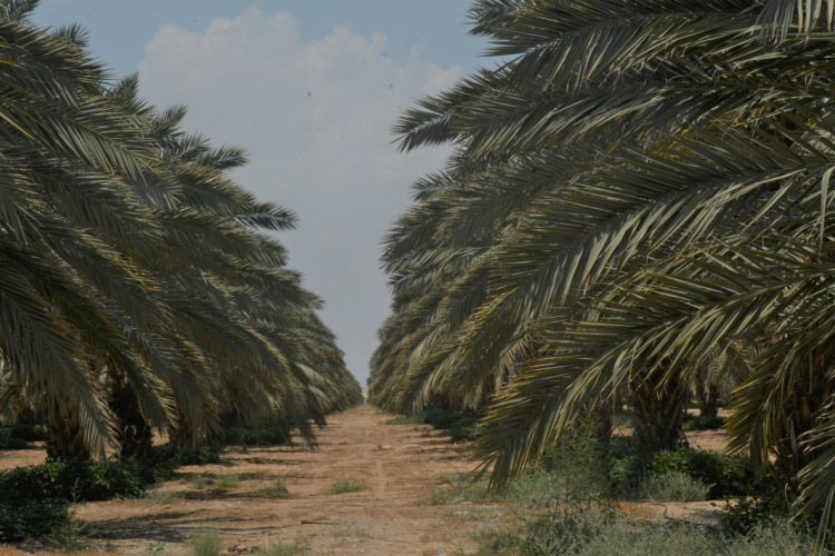 Menashe_Dates_DSC_8499 Date palm plantation (1)