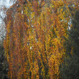 Weeping Beech Tree in Fall Colors