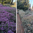 Wave of Beauty: Flowering Triggered by Hedging