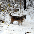 Coyotes on the Move