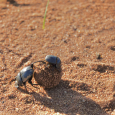 The Industrious Dung Beetle of South Africa