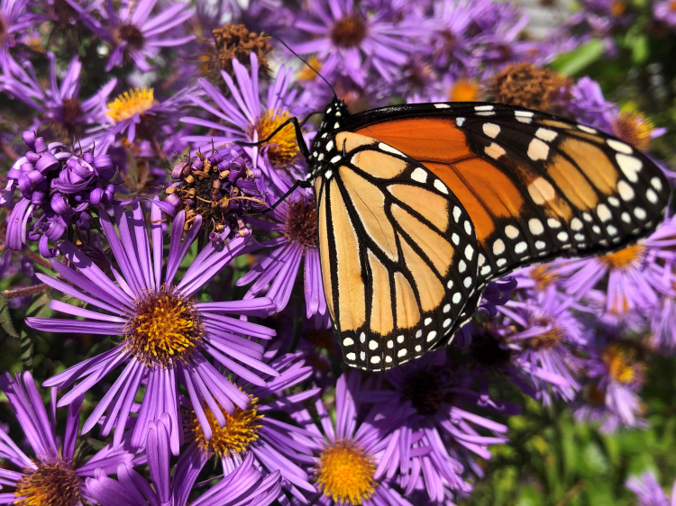 Monarch female on blue aster
