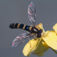 Iridescent Wings of a Hoverfly