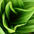 The Corn Lily: Toxic Beauty of the North American West